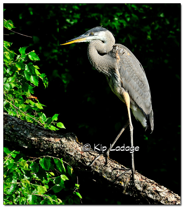 Great Blue Heron Against Dark Background - Image 450290 (© Kip Ladage)