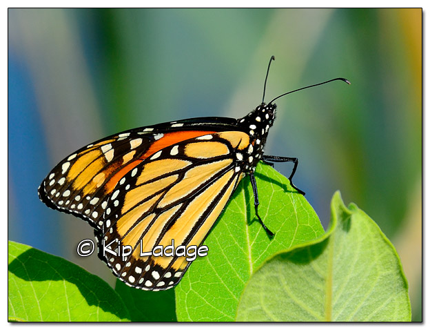 Monarch Butterfly on Milkweed - Image 452500 (© Kip Ladage)