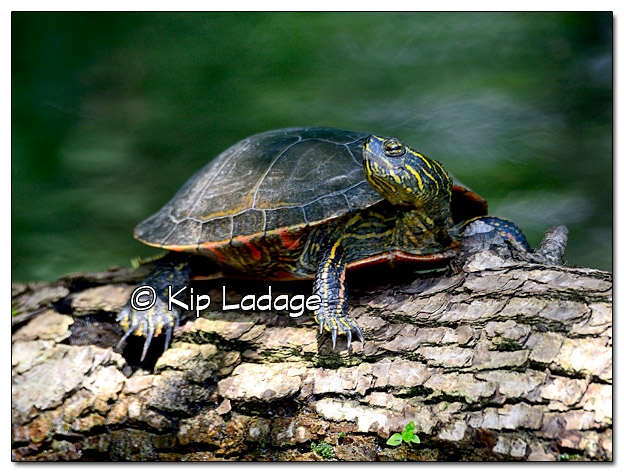 Painted Turtle on Wapsipinicon River - Image 449944 (© Kip Ladage)