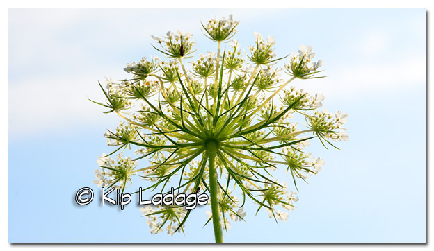 Queen Anne's Lace - Image 452084 (© Kip Ladage)