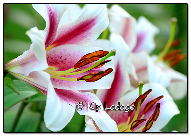 Ruby's Lilies - Image 452139 (© Kip Ladage)