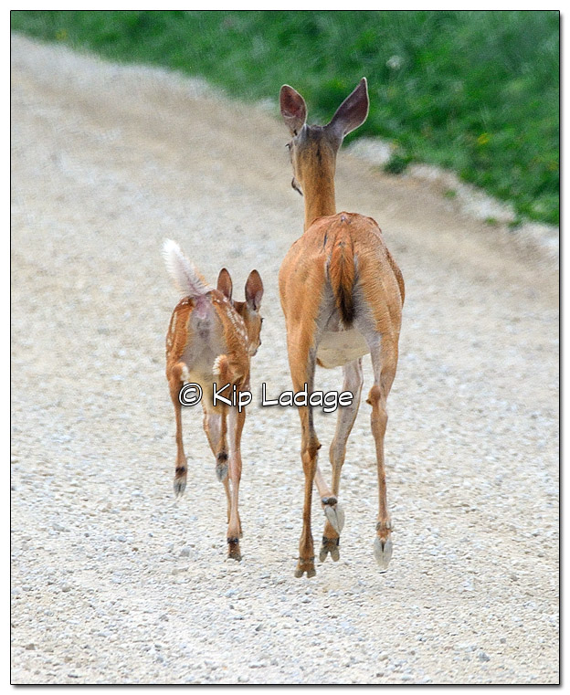 Whitetail Deer (doe) and Fawn on Gravel Road - Image 451450 (© Kip Ladage)