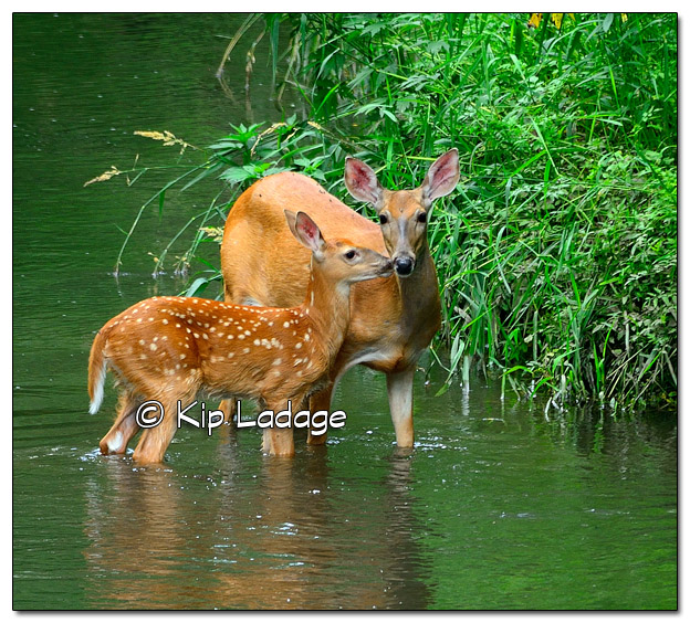 Whitetail Doe with Young in Stream - Image 450144 (© Kip Ladage)