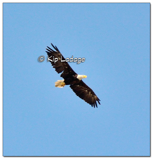 Adult Bald Eagle at Herb Meyer's Graveside Services - Image 456847 (© Kip Ladage)