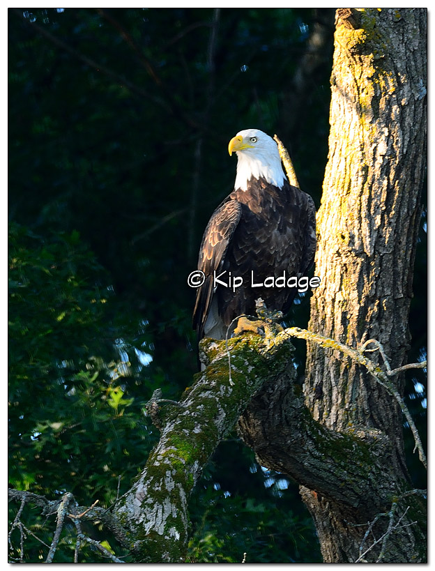 Adult Bald Eagle in Tree - Image 454455 (© Kip Ladage)