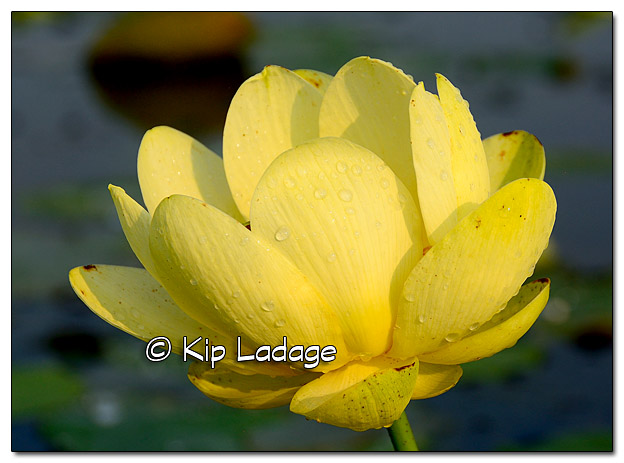 American Lotus at Sweet Marsh - Image 455566 (© Kip Ladage)