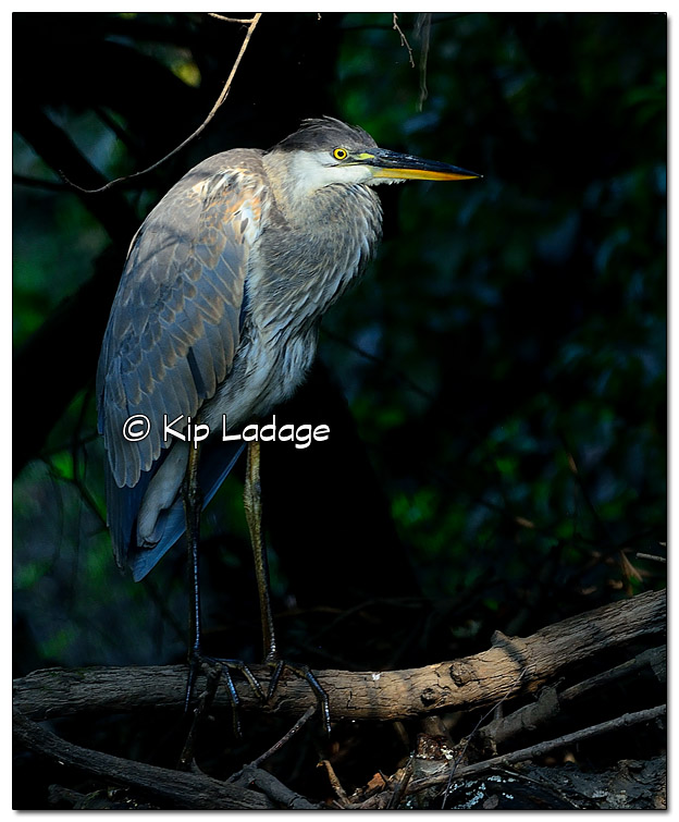 Great Blue Heron - Image 454589 (© Kip Ladage)