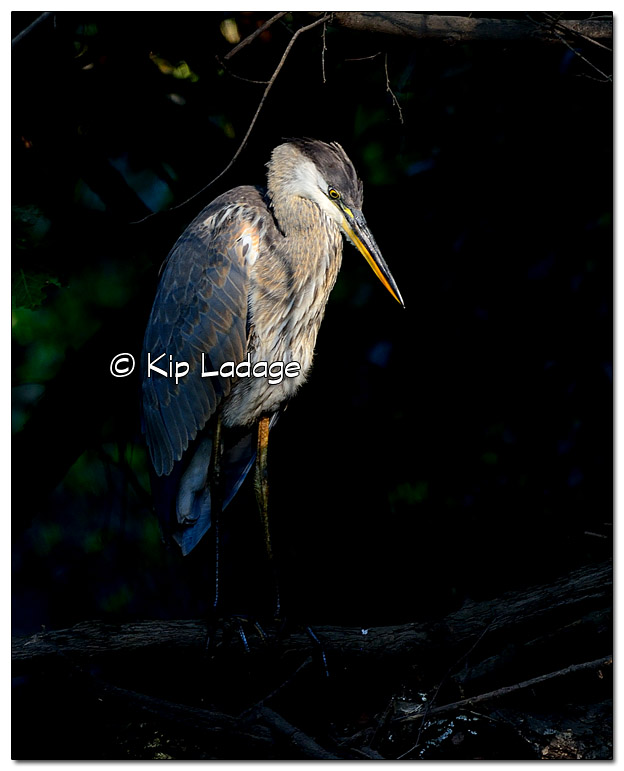 Great Blue Heron - Image 454645 (© Kip Ladage)