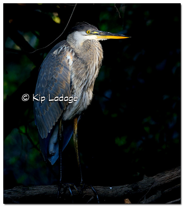 Great Blue Heron - Image 454673 (© Kip Ladage)