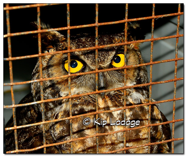 Injured Great Horned Owl - Image 453759 (© Kip Ladage)