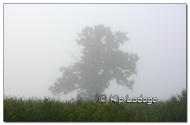 Lone Tree in Fog - Image 457642 (© Kip Ladage)