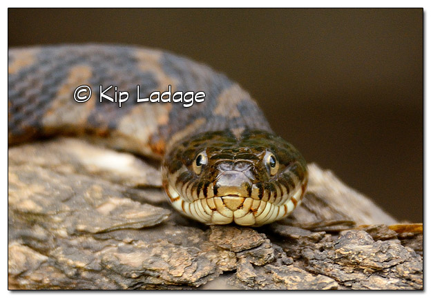 Northern Water Snake - Image 455492 (© Kip Ladage)
