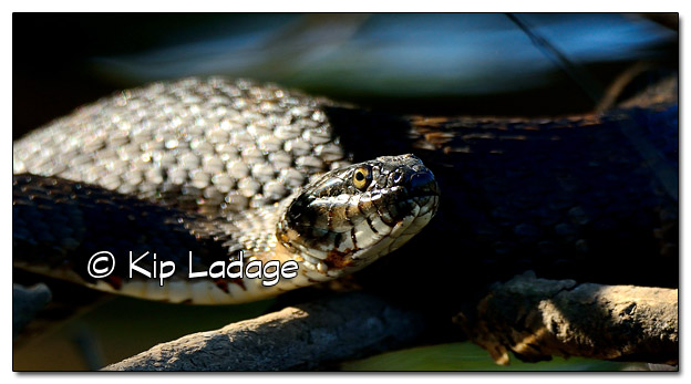 Northern Water Snake in Shadows - Image 457276(© Kip Ladage)