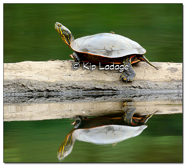 Painted Turtle - Image 456801 (© Kip Ladage)