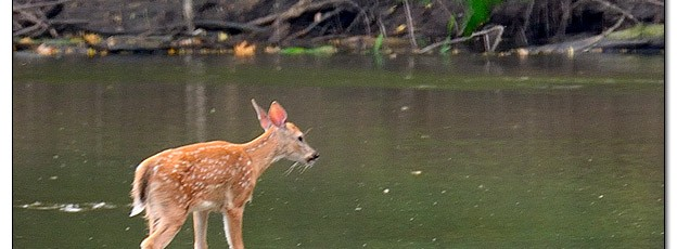 Whitetail Deer Fawn in Stream - Image 456601 (© Kip Ladage)