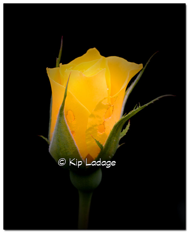 Yellow Rose - Image 454398 (© Kip Ladage)