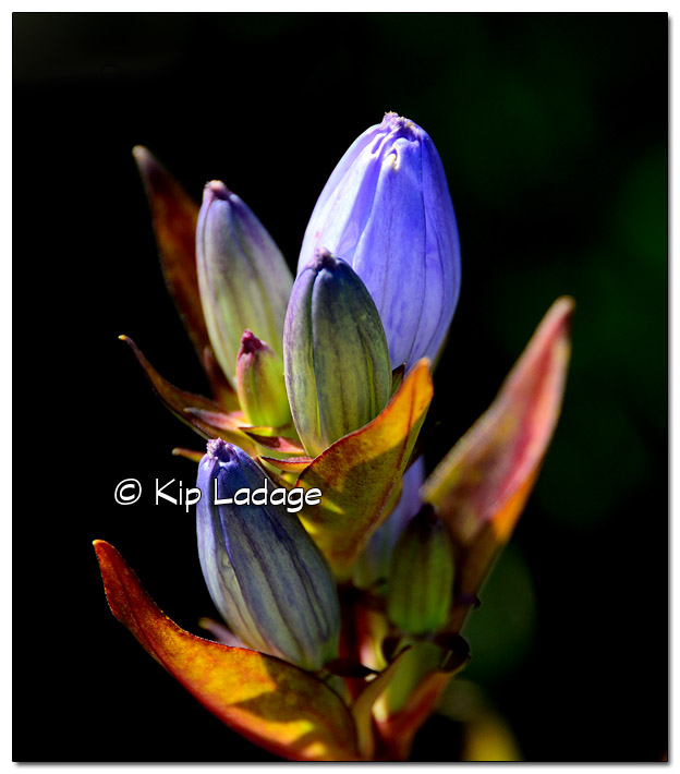 Closed (Bottle) Gentian - Image 460803 (Kip Ladage)