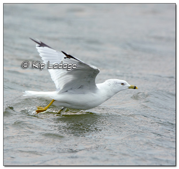 Ring-billed Gull - Image 460256 (Kip Ladage)