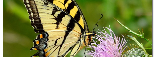 Swallowtail Butterfly - Image 457806 (© Kip Ladage)
