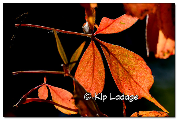 Virginia Creeper in Autumn - Image 462056 (© Kip Ladage)
