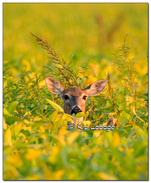 Whitetail Deer in Soybean Field - Image 461784 (© Kip Ladage)