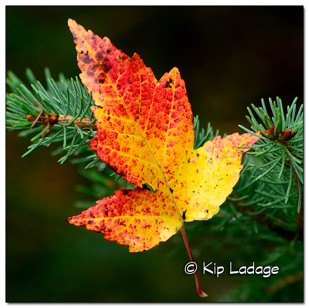 Amur Maple Leaf in Pine Tree - Image 469364 (© Kip Ladage)