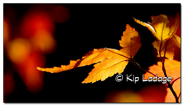 Autumn Colors (Leaves) - Image 469917 (© Kip Ladage)