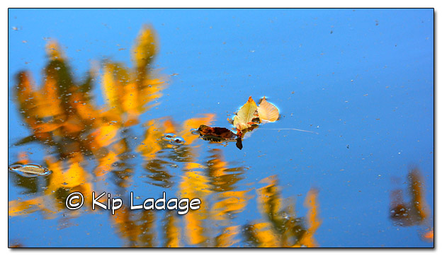 Autumn Leaves Reflecting in Wapsipinicon River - Image 469647 (© Kip Ladage)