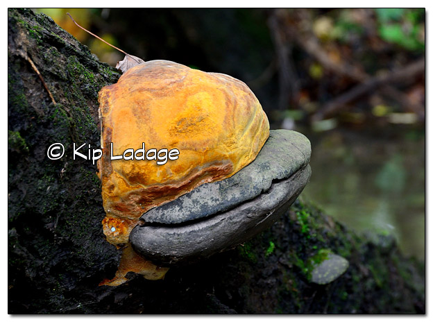 """FungiTree Beast"" Large Fungus on Tree - Image 469147 (© Kip Ladage)"