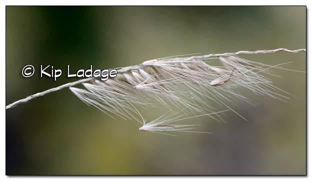 Ornamental Grass Seed in Wind - Image 471094 (© Kip Ladage)