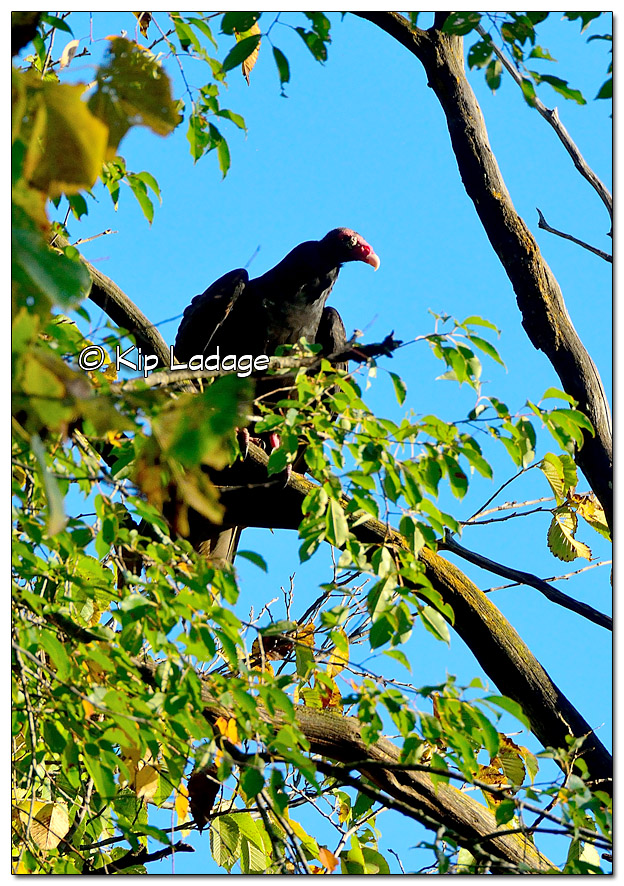 Turkey Vulture in Tree at Hickory Hills Park - Image 468746 (© Kip Ladage)