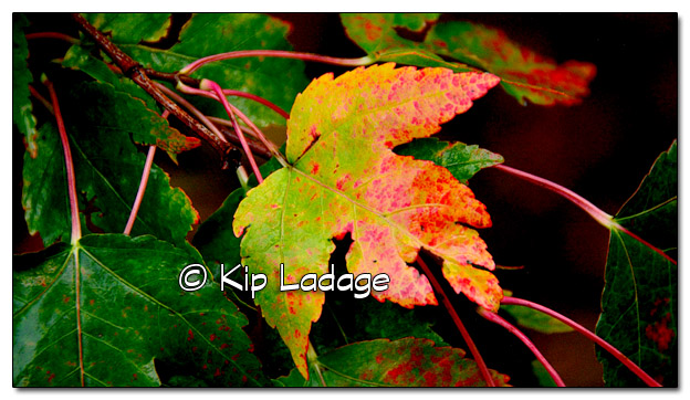 Wet Autumn Leaf - Image 469061 (© Kip Ladage)