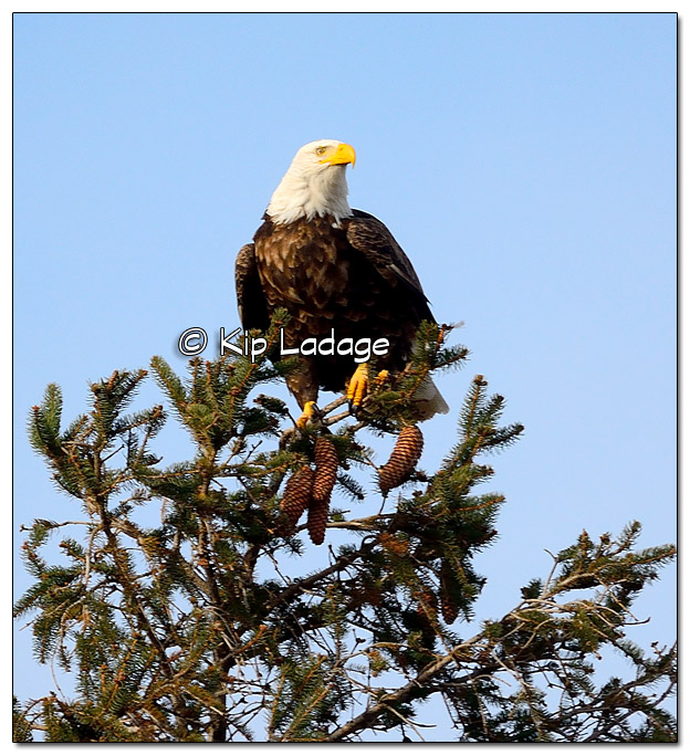 Adult Bald Eagle in Pine Tree - Image 474447 (© Kip Ladage)