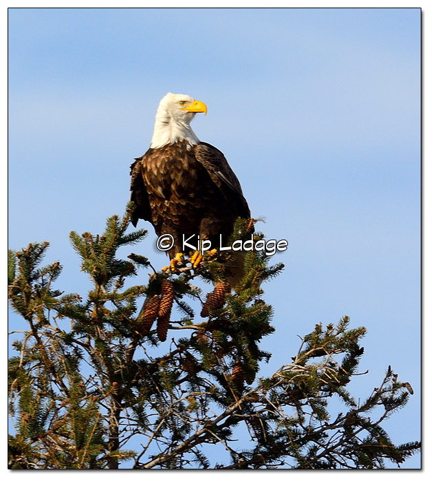 Adult Bald Eagle in Pine Tree - Image 474461 (© Kip Ladage)