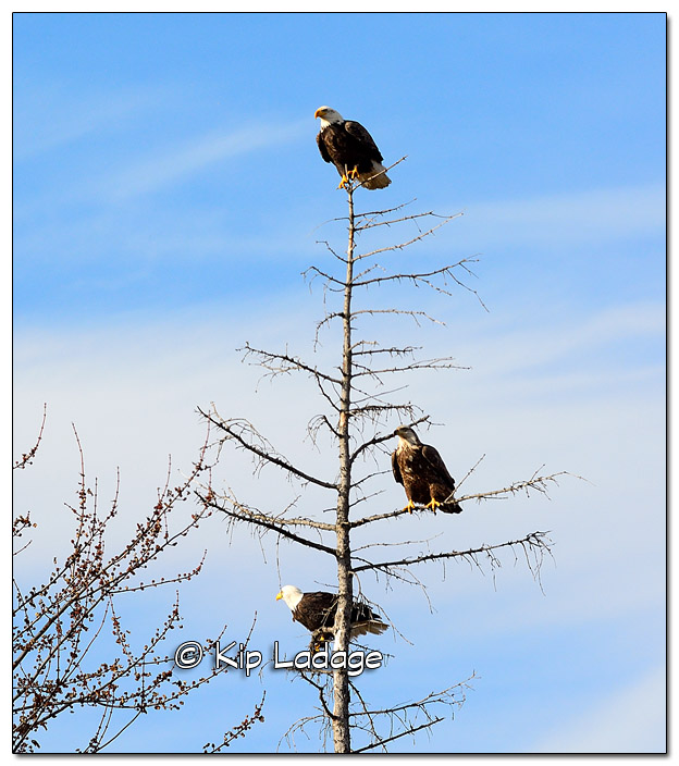 Bald Eagles in Dead Tree - Image 474501 (© Kip Ladage)