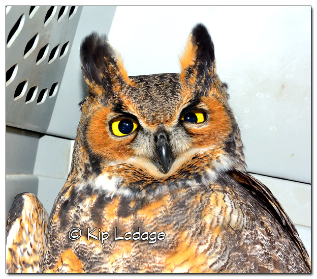 Injured Great Horned Owl - Image 471970 (© Kip Ladage)