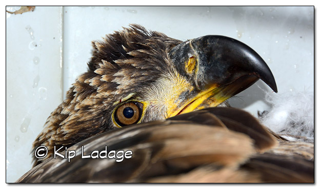 Injured Juvenile Bald Eagle  - Image 472709 (© Kip Ladage)
