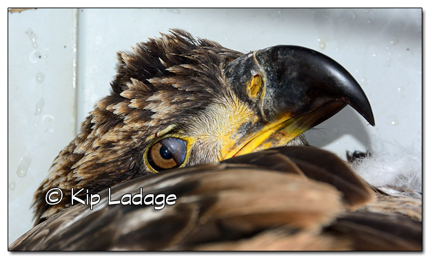 Injured Juvenile Bald Eagle With Nictitating Membrane Visible - Image 472710 (© Kip Ladage)