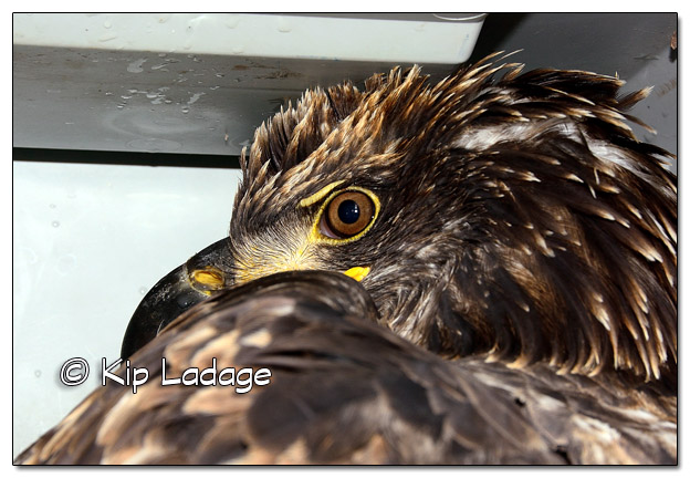 Injured Juvenile Bald Eagle  - Image 472722 (© Kip Ladage)