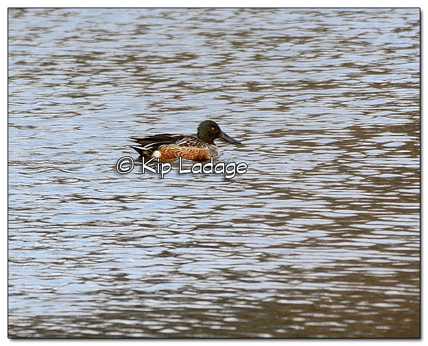 Male Northern Shoveler in Non-breeding Plumage - Image 473443 (© Kip Ladage)