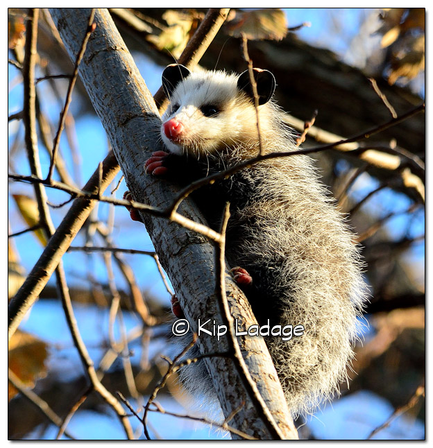 Opossum in Tree - Image 472703 (© Kip Ladage)