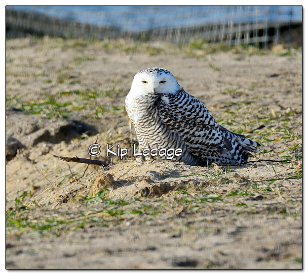 Snowy Owl at Sweet Marsh - Image 474777 (© Kip Ladage)
