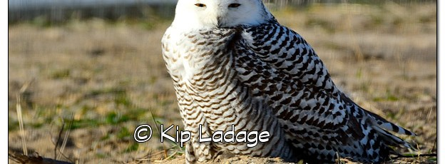 Snowy Owl at Sweet Marsh - Image 474825 (© Kip Ladage)