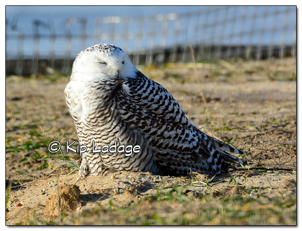 Snowy Owl at Sweet Marsh - Image 474847 (© Kip Ladage)