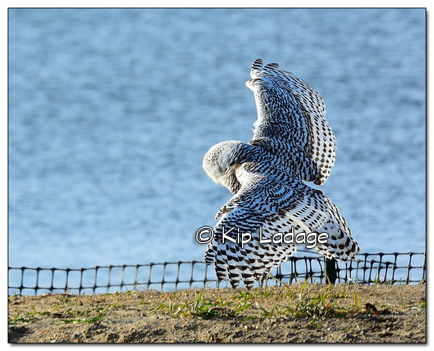 Snowy Owl at Sweet Marsh - Image 474853 (© Kip Ladage)