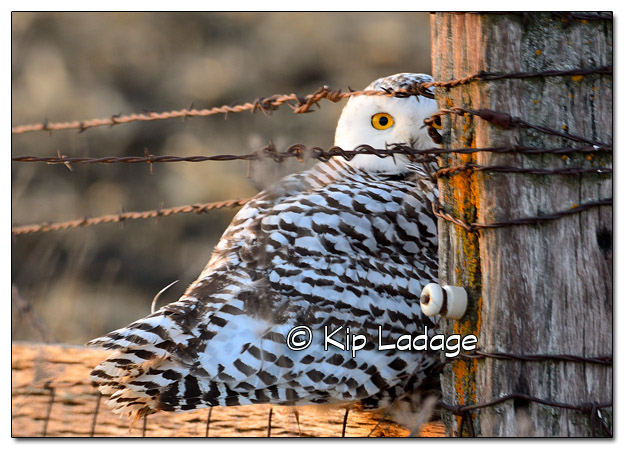 Snowy Owl in Bremer County - Image 476301 (© Kip Ladage)