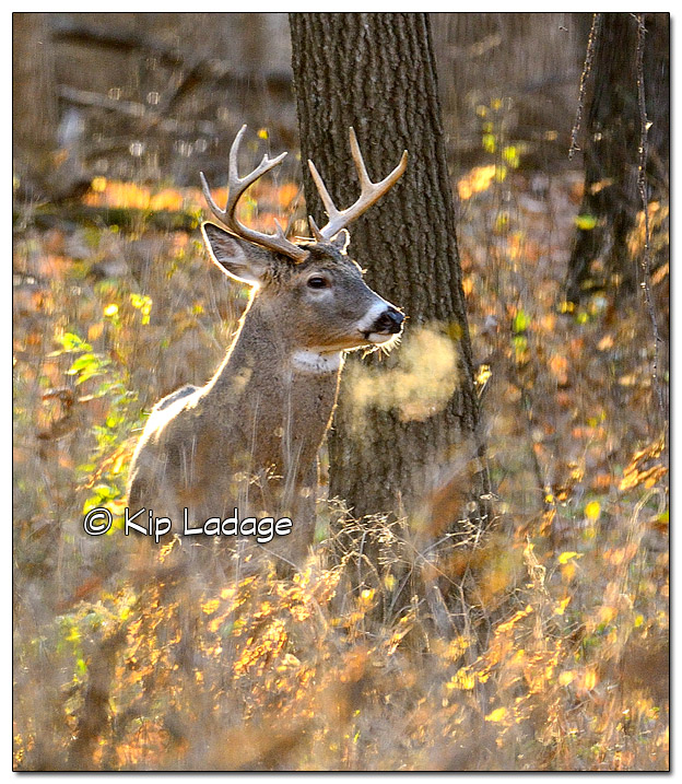 Whitetail Buck With Breath - Image 472428 (© Kip Ladage)