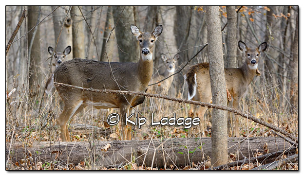 Whitetail Deer at Ingawanis Woodlands - Image 472538 (© Kip Ladage)