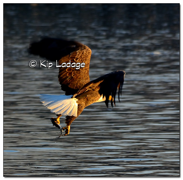 Adult Bald Eagle Catching Fish - Image 478338 (© Kip Ladage)