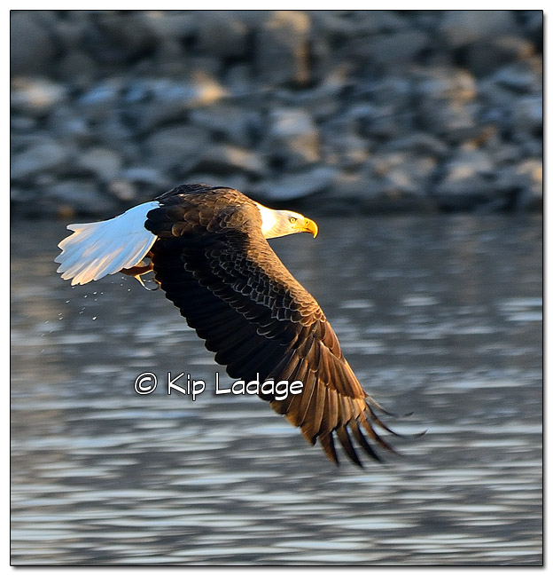 Adult Bald Eagle Catching Fish - Image 478339 (© Kip Ladage)